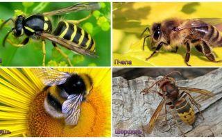 말벌, 벌, 꿀벌, 호넷의 차이점은 무엇입니까?