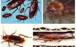 아프리카 바퀴벌레 (미국산)