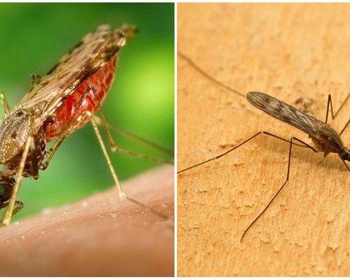 말라리아 모기는 어떻게 보이고 인간에게는 얼마나 위험한 지