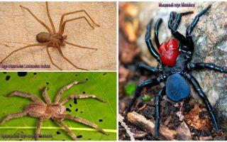 세계에서 가장 위험한 거미의 묘사와 사진