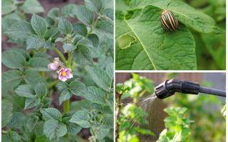 꽃 피는 동안 콜로라도 딱정벌레에서 감자를 처리하는 것이 가능합니까?