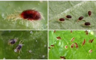 설명 및 사진 거미 진드기