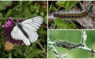 애벌레 및 나비 호손의 설명 및 사진 싸우는 방법