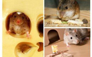 쥐가 치즈를 먹든 안 먹어요?