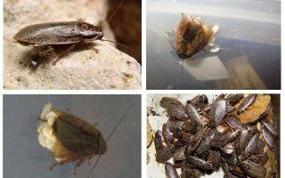 대리석 바퀴벌레 : 사료 및 사육 방법