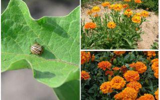 콜로라도 감자 딱정벌레에서 가지를 보호하고 보호하는 방법