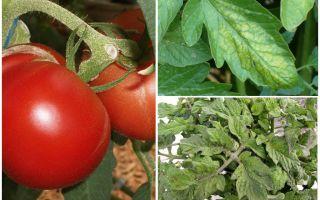 토마토에 대한 진딧물 - 처리 할 대상과 싸우는 방법