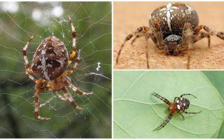 십자군 거미 설명 및 사진
