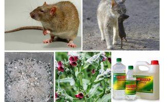 헛간 민간 요법에서 쥐를 제거하는 방법