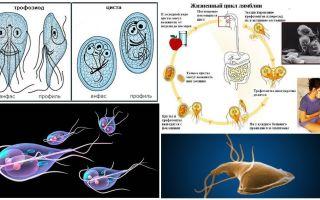 Giardia의 생활주기와 낭종 치료
