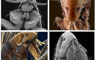 사진에 보이는 벼룩의 종류와 종류 및 구조적 특징