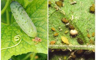 온실과 야외에서 오이에 진딧물을 다루는 방법과 방법