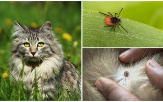 고양이 또는 고양이의 진드기를 치료하는 방법