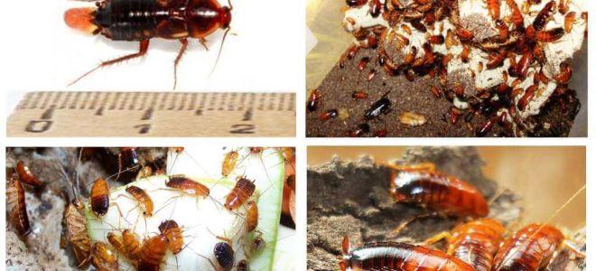 투르크멘 바퀴벌레 번식 기능