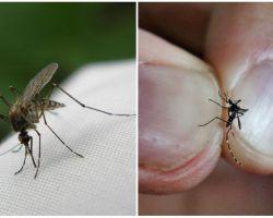 번식하는 방법과 얼마나 많은 모기가 살고 있는가?
