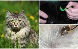 고양이 또는 고양이에게서 진드기를 제거하는 방법