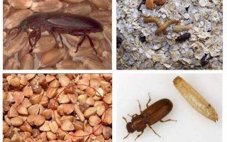 곡물, 밀가루, 파스타에 Blackflies, 그리고 그들을 제거하는 방법