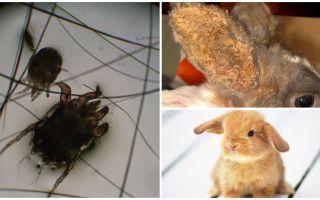 토끼의 귀 진드기 치료
