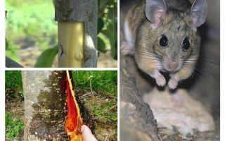 나무 껍질을 붙인 쥐가있는 경우 사과 나무를 저장하는 법