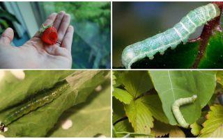 딸기에 유충을 제거하는 방법