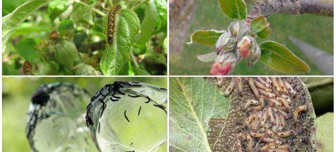 사과 나무에 유충을 제거하는 방법