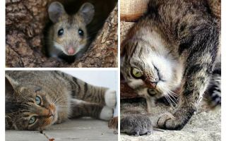 고양이와 고양이가 생쥐를 먹는가?