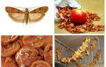 말린 사과에서 두더지가 시작되면 어떻게해야합니까?