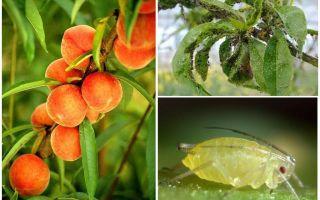 복숭아 민속과 쇼핑 수단에 대한 진딧물 다루는 방법