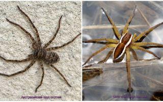 호주 사냥꾼 거미