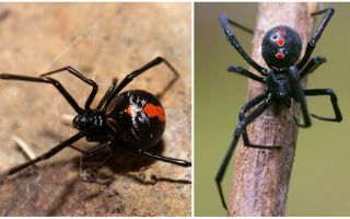 검은 미망인 거미의 묘사와 사진