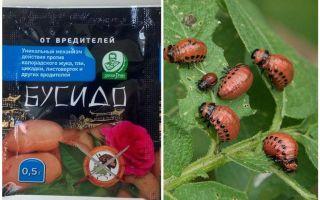부시도 콜로라도 감자 딱정벌레 구제 수단 : 사용법, 효과 성, 검토 방법