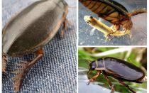 비틀 딱정벌레