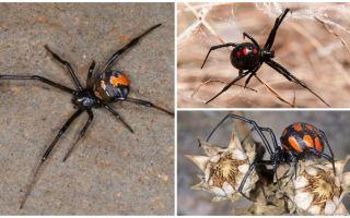 거미 카라크르트는 어떻게합니까?