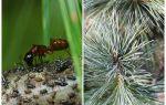 크리스마스 트리에 진딧물과 그것에 대처하는 방법