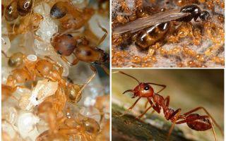파라오 개미