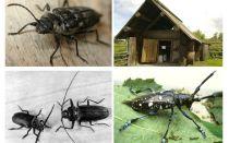 딱정벌레 나무꾼 사진과 설명