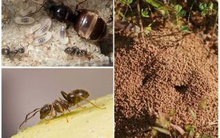 정원 검은 개미