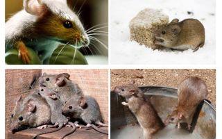 생쥐에 관한 흥미로운 사실