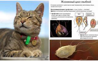 고양이에서의 Giardia의 증상과 치료