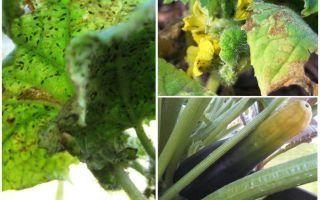 주 치니에 진딧물을 제거하는 방법
