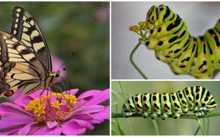 마카 온 나비의 애벌레에 대한 묘사와 사진
