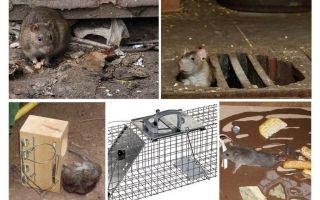 지하 민간 요법에서 쥐를 제거하는 방법