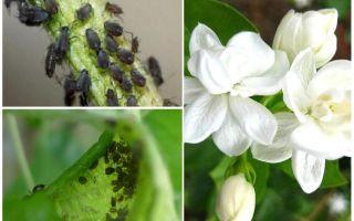 재스민에 진딧물을 제거하는 방법