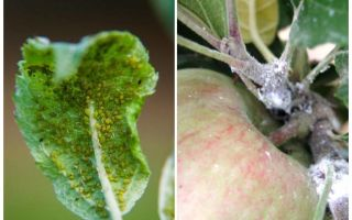 사과 나무에 진딧물을 제거하는 방법