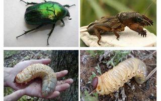 곰의 유충과 5 월 딱정벌레의 차이점은 무엇입니까?