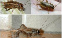 귀뚜라미의 묘사 그리고 사진