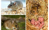 생쥐의 수명