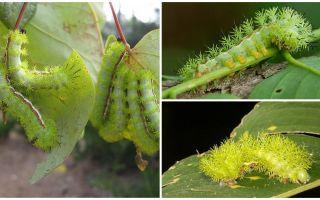 위험한 유독 한 유충의 묘사와 사진