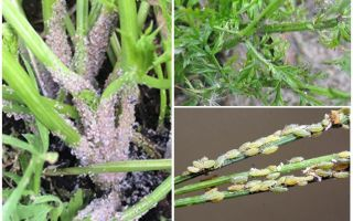 당근에 진딧물을 없애는 법