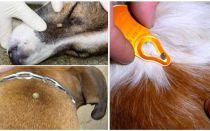 개에 물린 진드기 - 집에서 증상, 효과 및 치료
